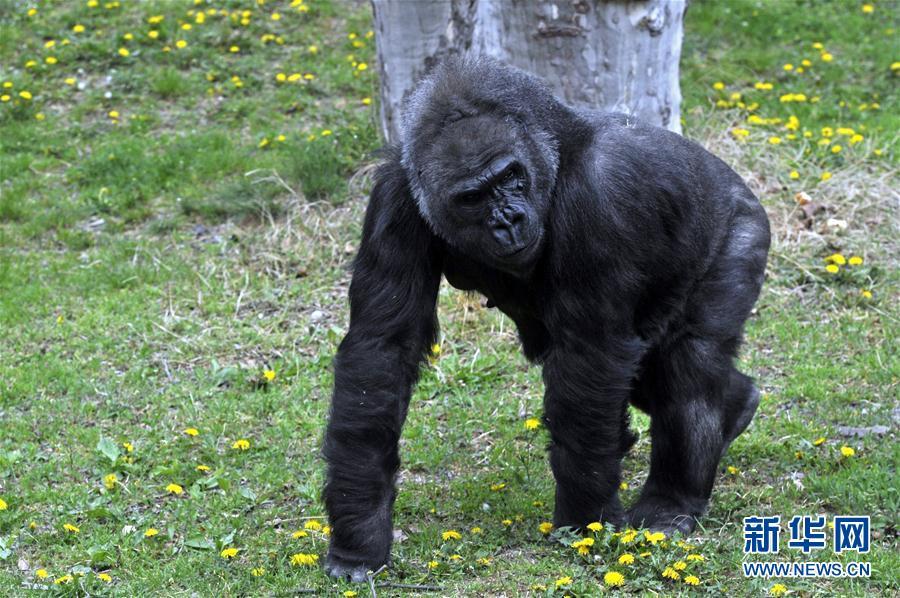 [1](外代二線)大猩猩莉澤爾的40歲生日