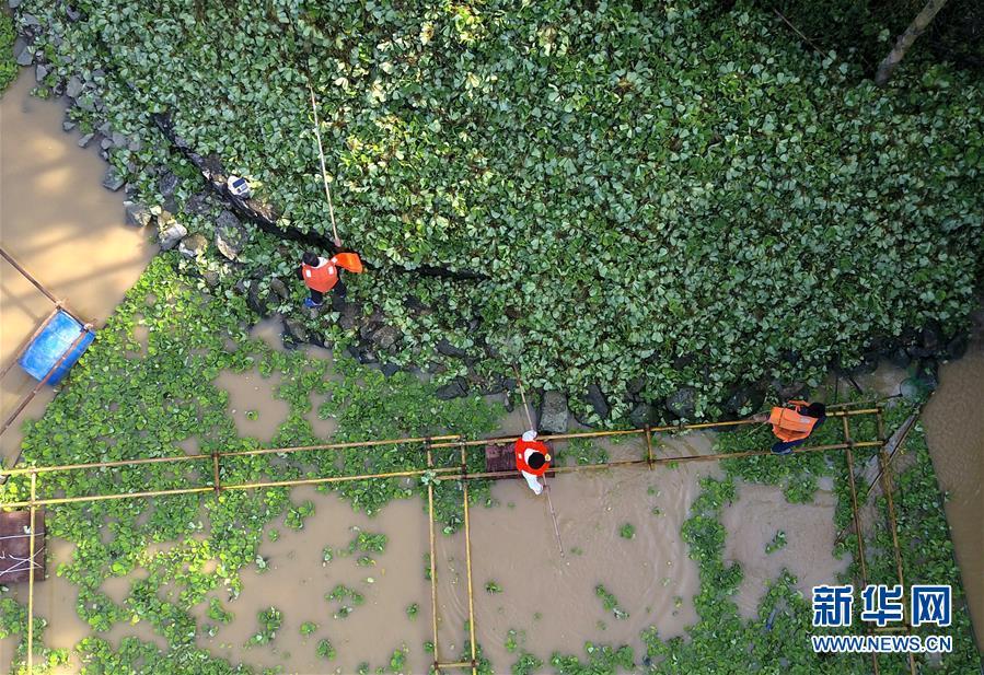 #(環境)(6)廣西柳州清理水浮蓮保護水環境