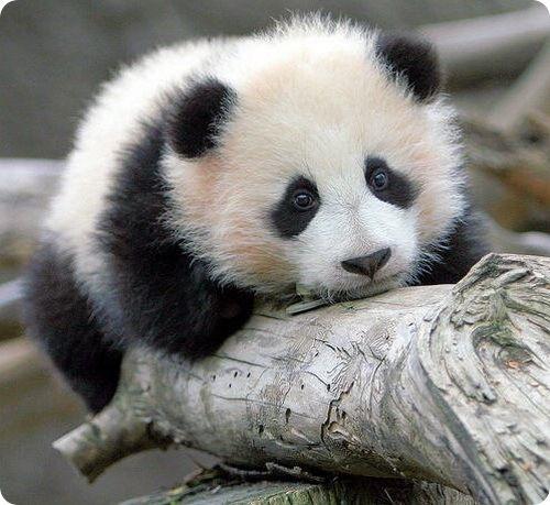 你知道熊猫为什麼这麼萌吗?我知道啊哈哈哈哈哈哈
