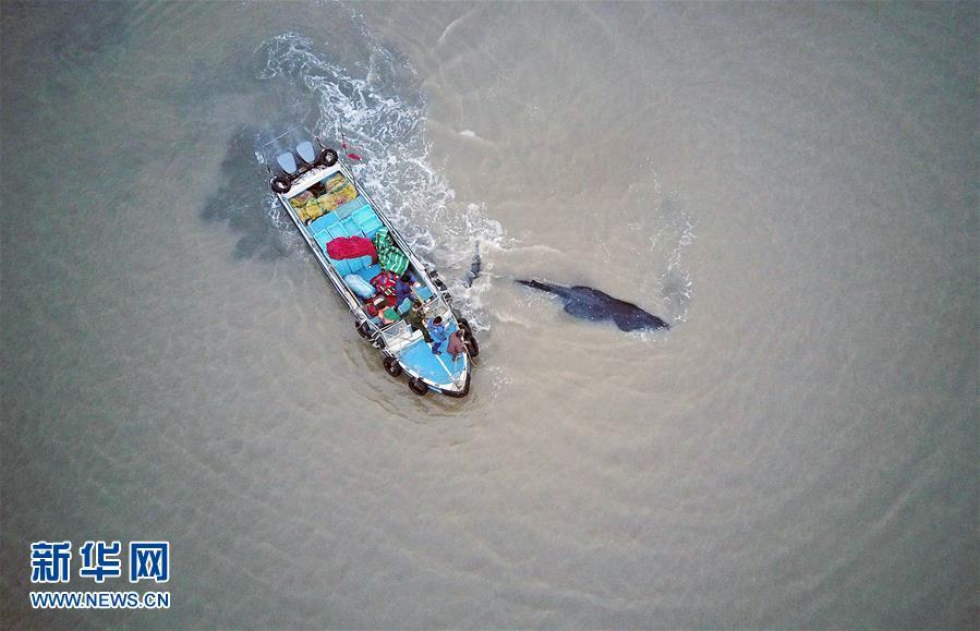 #(社會)(3)江蘇啟東:營救擱淺座頭鯨