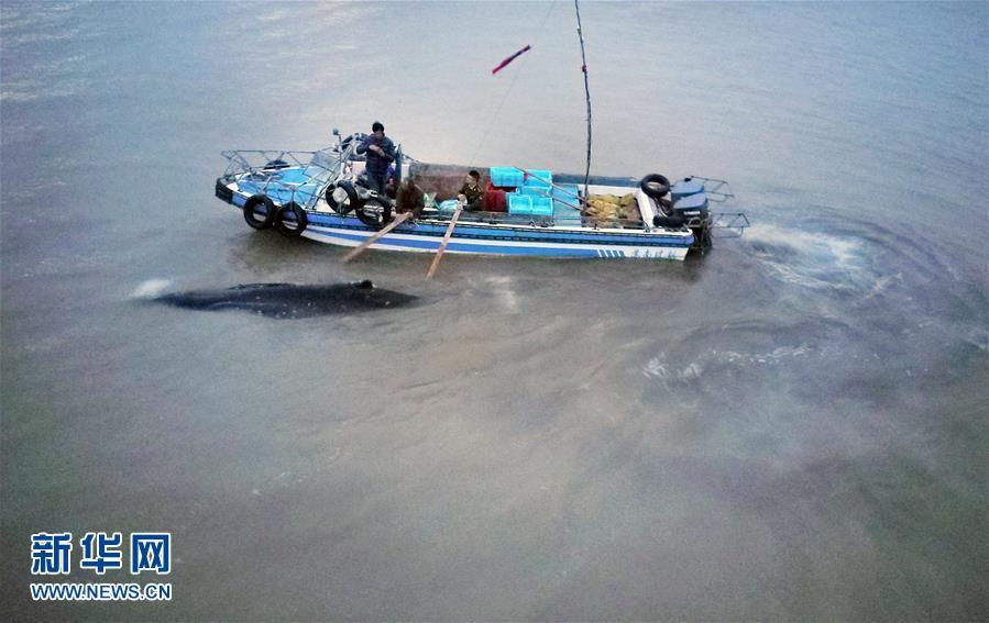 #(社會)(4)江蘇啟東:營救擱淺座頭鯨