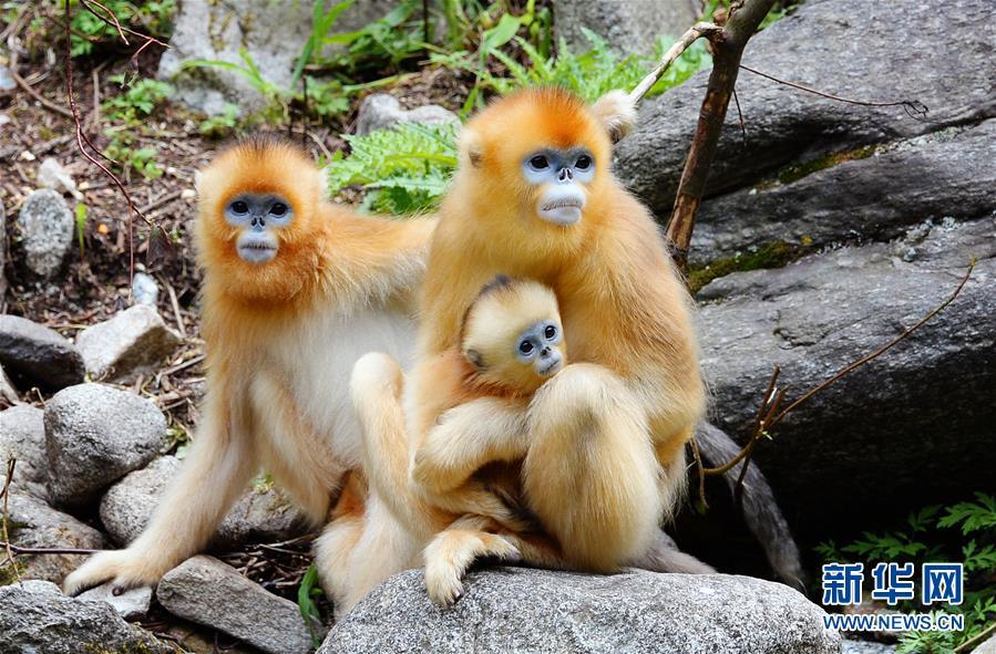 (生態)(1)密林中的精靈——秦嶺金絲猴