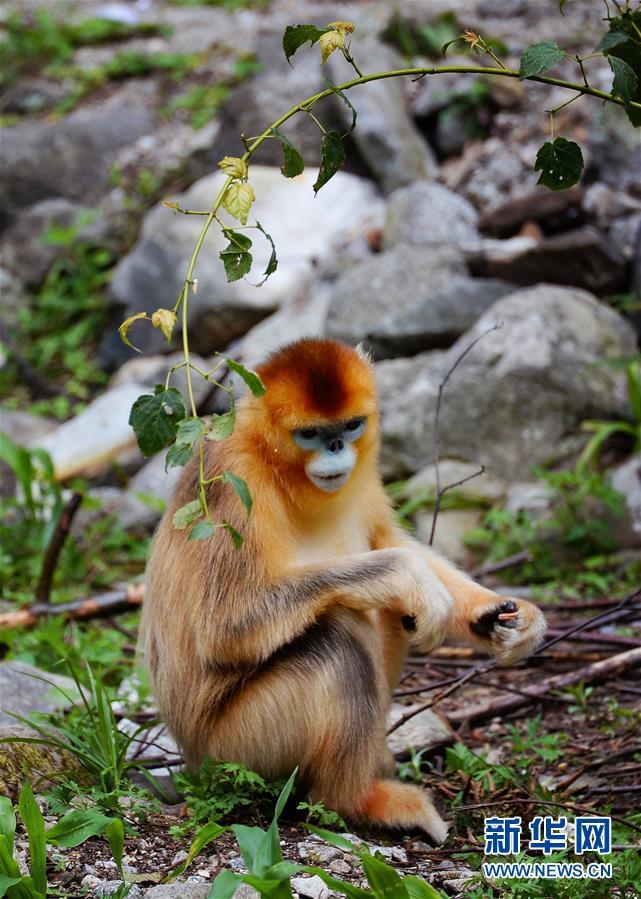 (生態)(2)密林中的精靈——秦嶺金絲猴
