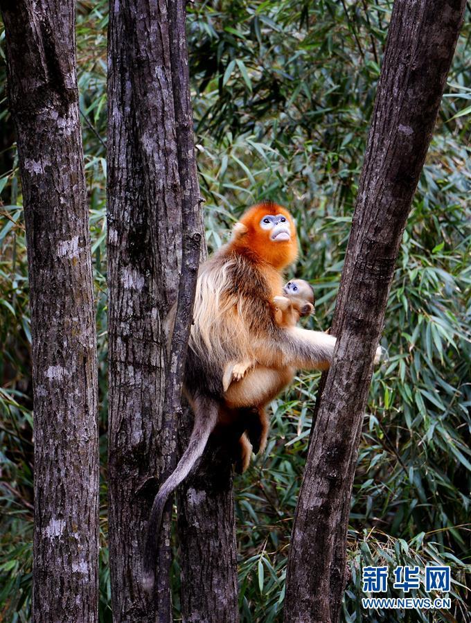 (生態)(4)密林中的精靈——秦嶺金絲猴
