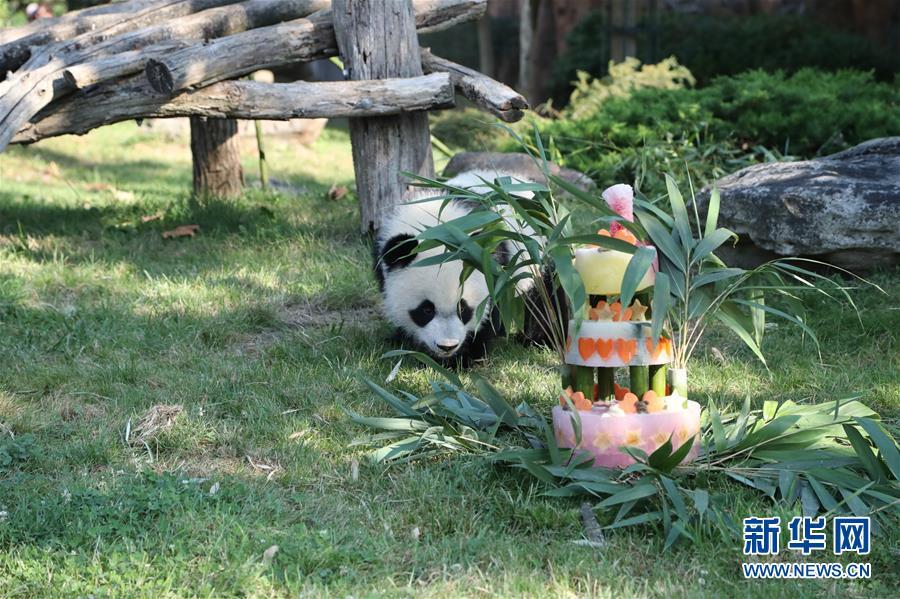 (國際)(1)法國首只大熊貓寶寶周歲慶生