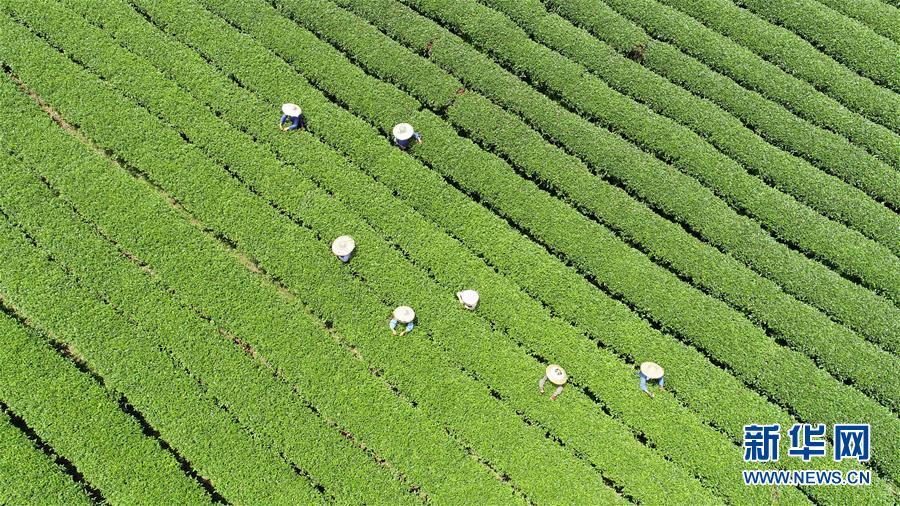 #(經濟)(1)廣西茶鄉採秋茶