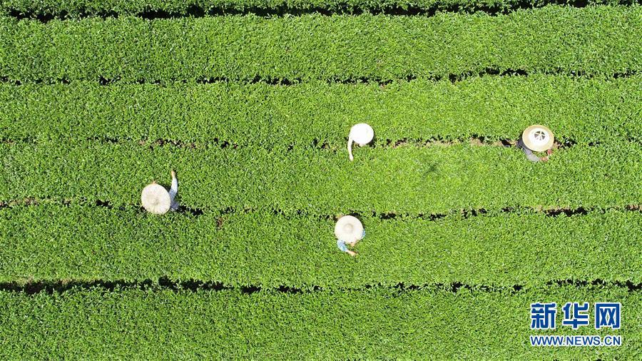 #(經濟)(2)廣西茶鄉採秋茶