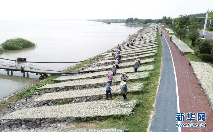 #(社會)(1)安徽巢湖:漁家曬秋 魚幹飄香