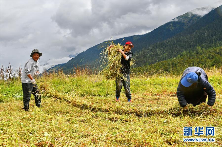 (經濟)(1)西藏林芝巴宜區牧草豐收