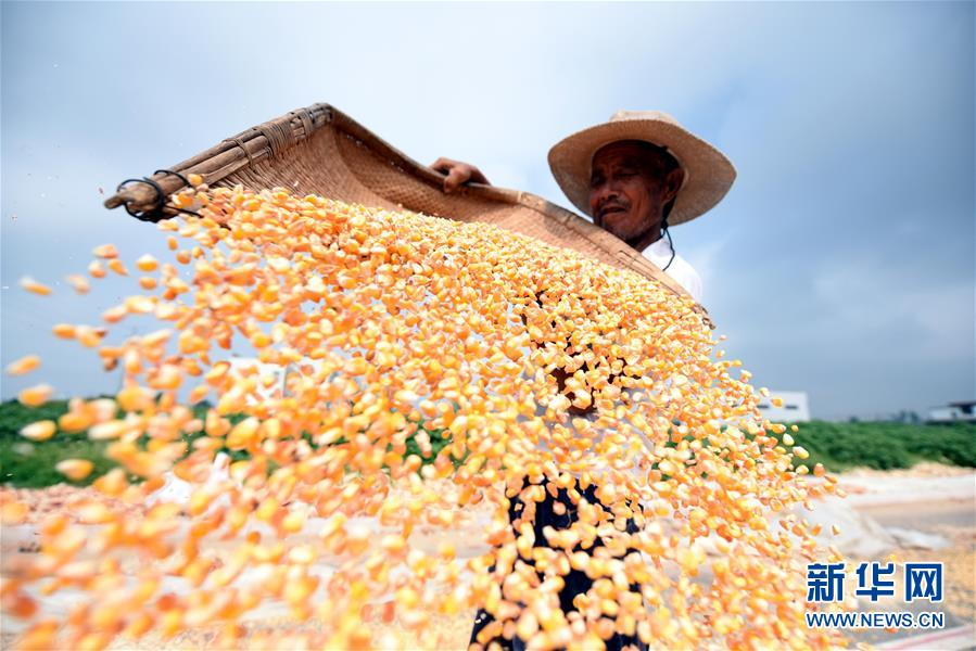 #(經濟)(1)山東郯城十萬余畝玉米豐收