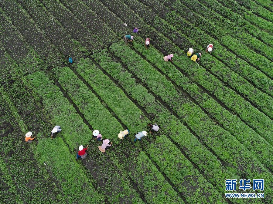 #(社會)(4)貴州黔西:白露將至秋管忙
