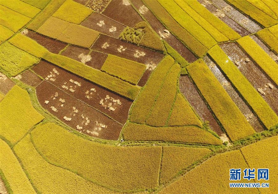 (美麗中國)(1)雲南廣南:金秋田野稻谷豐收