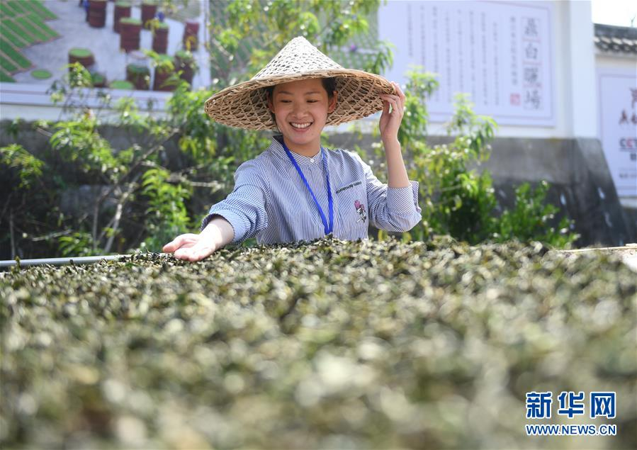 (社會)(1)福建福鼎:制茶能手比拼技藝