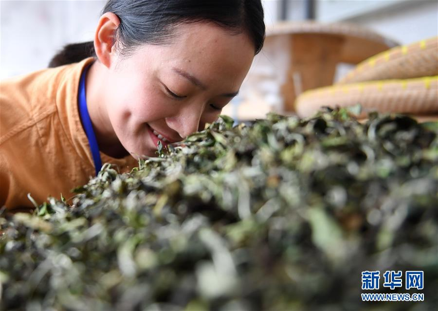 (社會)(3)福建福鼎:制茶能手比拼技藝