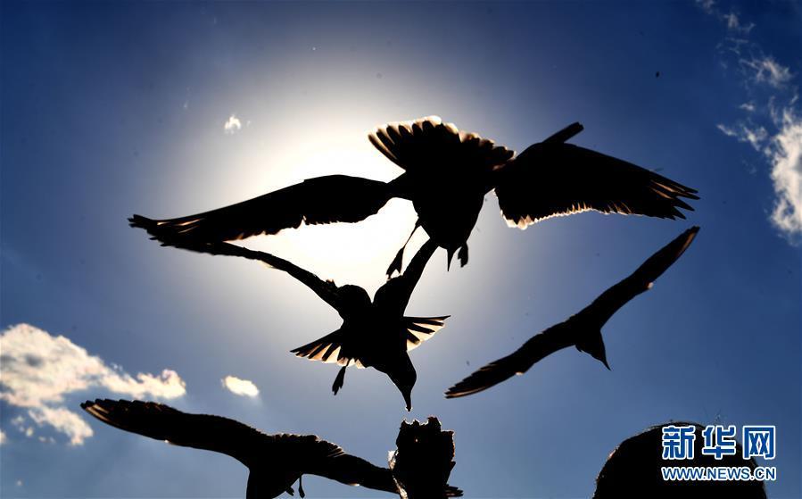 (環境)(1)昆明:紅嘴鷗光影