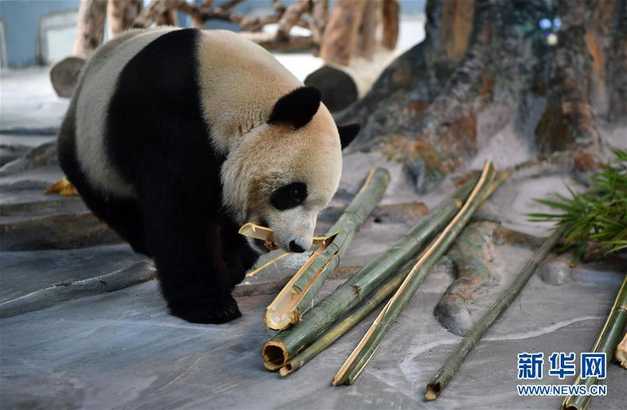 (社會)(2)大熊貓亮相海口