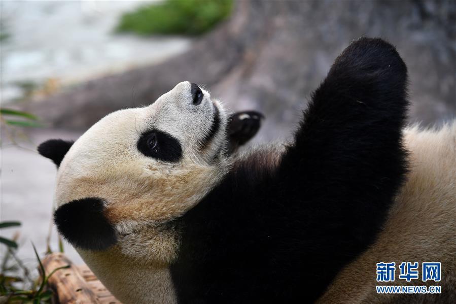(社會)(3)大熊貓亮相海口