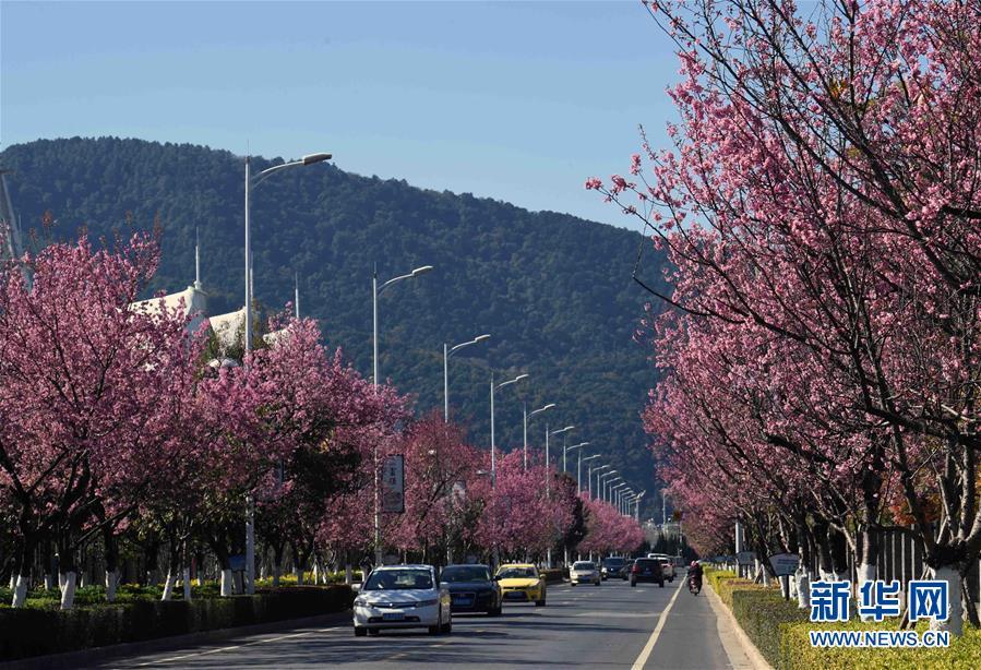 (環境)(1)昆明冬季鮮花盛開