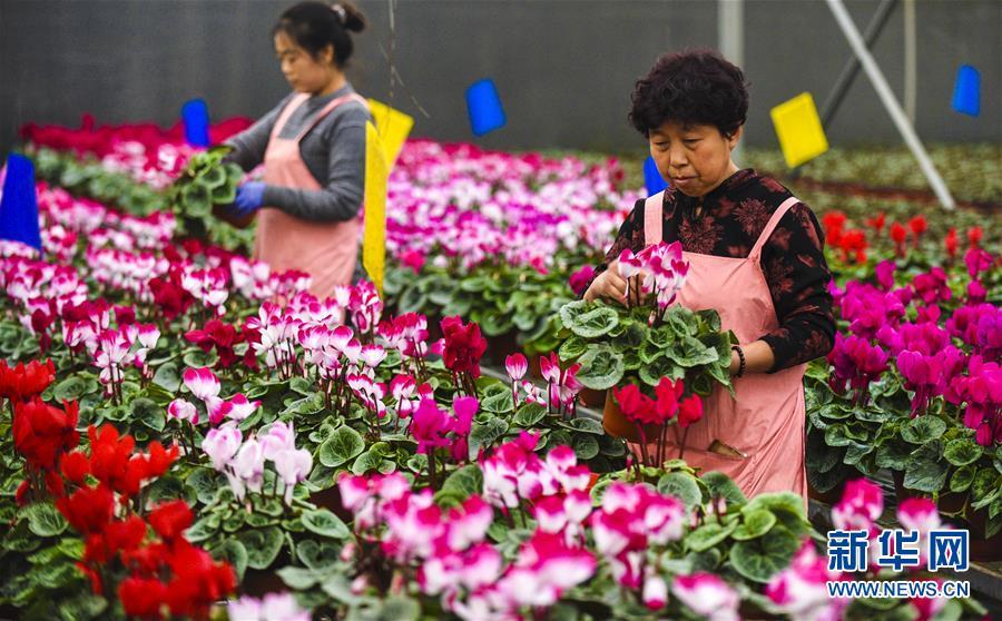 (經濟)(1)河北霸州:40萬盆鮮花扮靚京津兩節市場