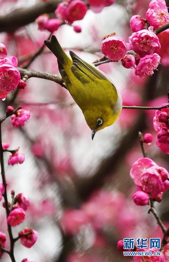 #(環境)(1)梅花開 引鳥來