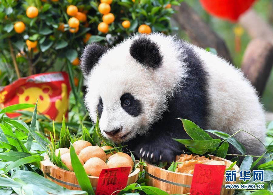 (社會)(1)大熊貓寶寶迎新春