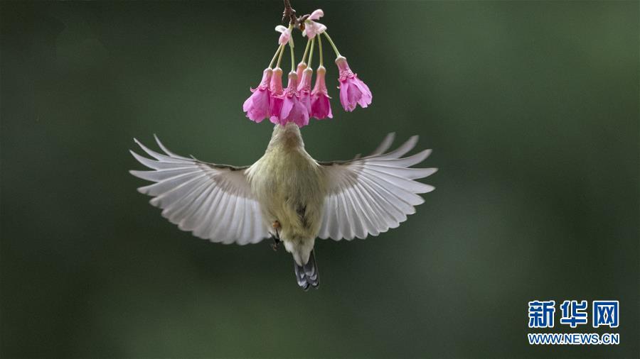 (環境)(1)叉尾太陽鳥懸停採蜜