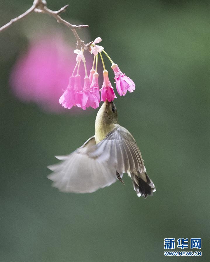 (環境)(3)叉尾太陽鳥懸停採蜜