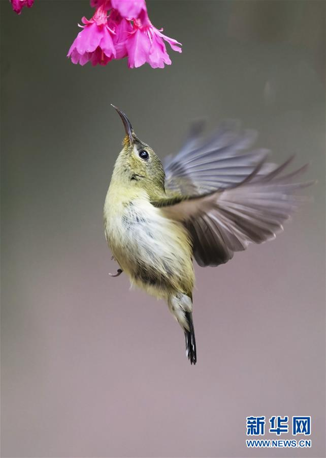 (環境)(5)叉尾太陽鳥懸停採蜜