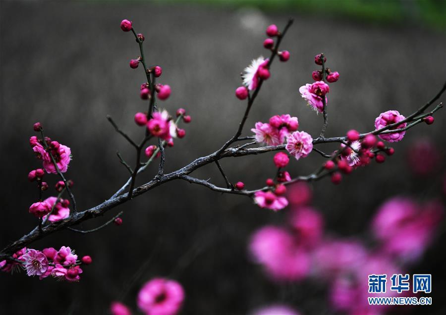 #(新華視界)(1)早春梅香