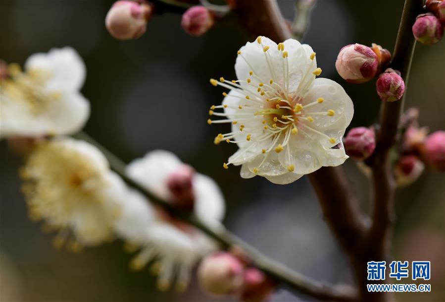 #(新華視界)(5)早春梅香