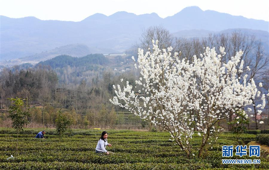 (環境)(1)茶園春色