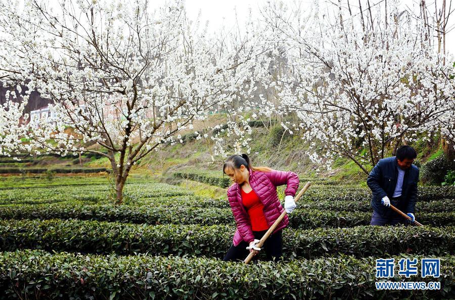 (環境)(2)茶園春色