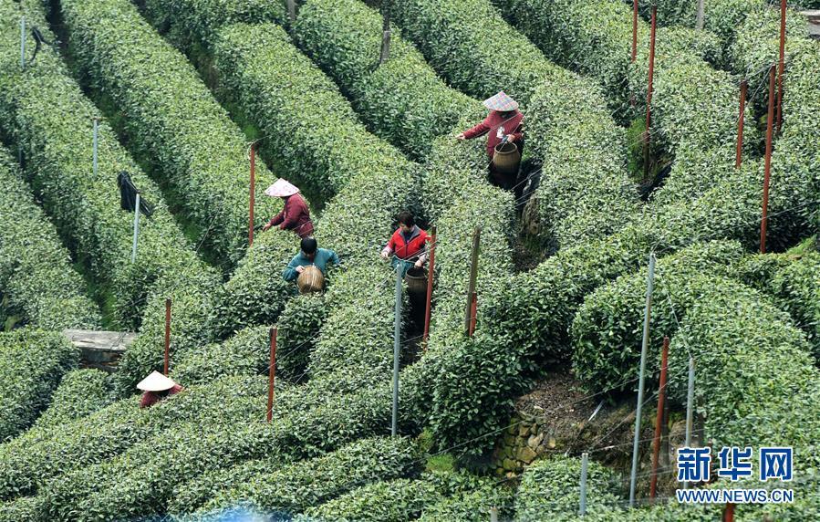 #(經濟)(1)春日採茶忙
