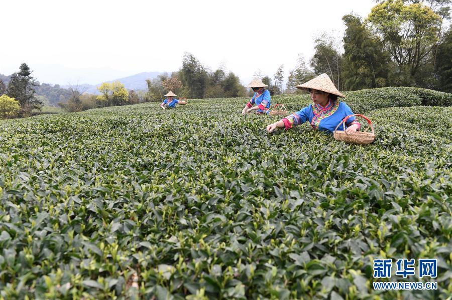 (社會)(1)福鼎茶鄉迎來白茶開茶季