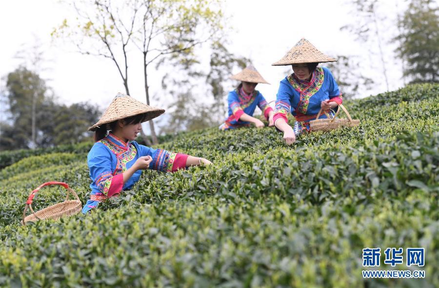(社會)(4)福鼎茶鄉迎來白茶開茶季