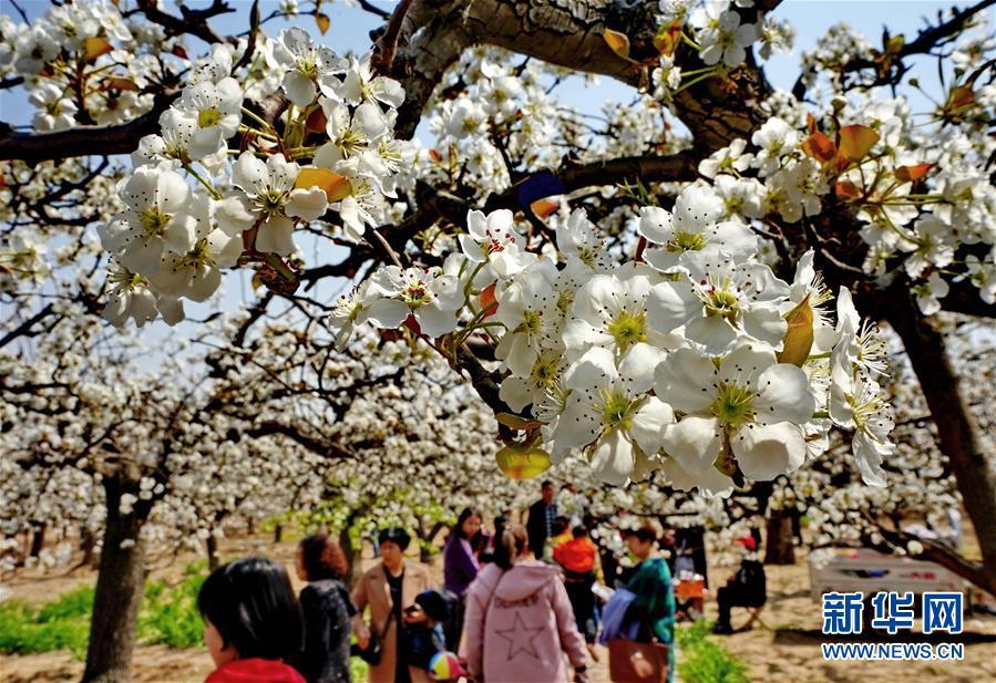 (社會)(1)梨花溢香滿園春