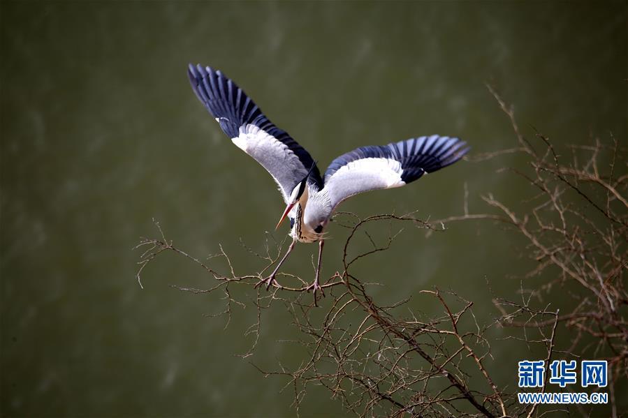 (圖文互動)(2)數百只蒼鷺在山西平陸黃河濕地築巢安家