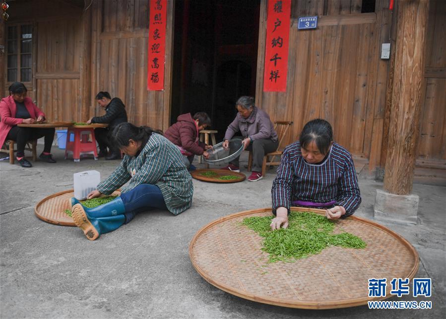 (圖文互動)(3)一片茶葉凝聚一個村莊