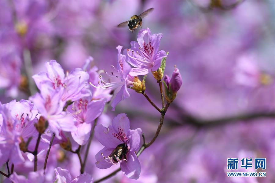 (環境)(1)安徽:杜鵑花開引客來