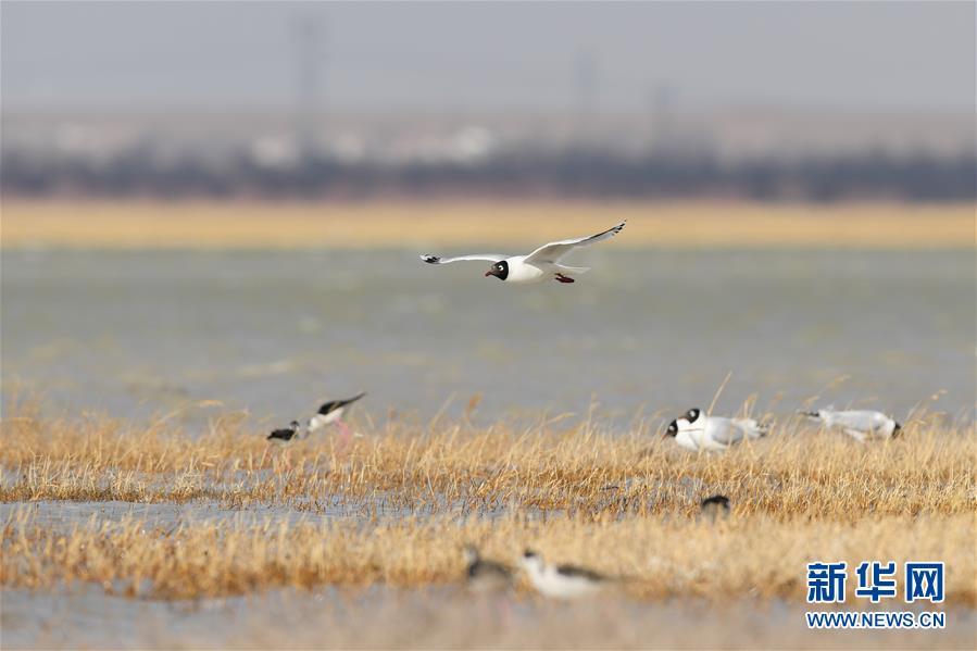 (環境)(1)大批遺鷗重返鄂爾多斯濕地