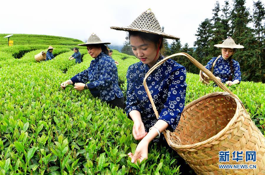 (社會)(5)武夷山:生態茶園 祭茶喊山
