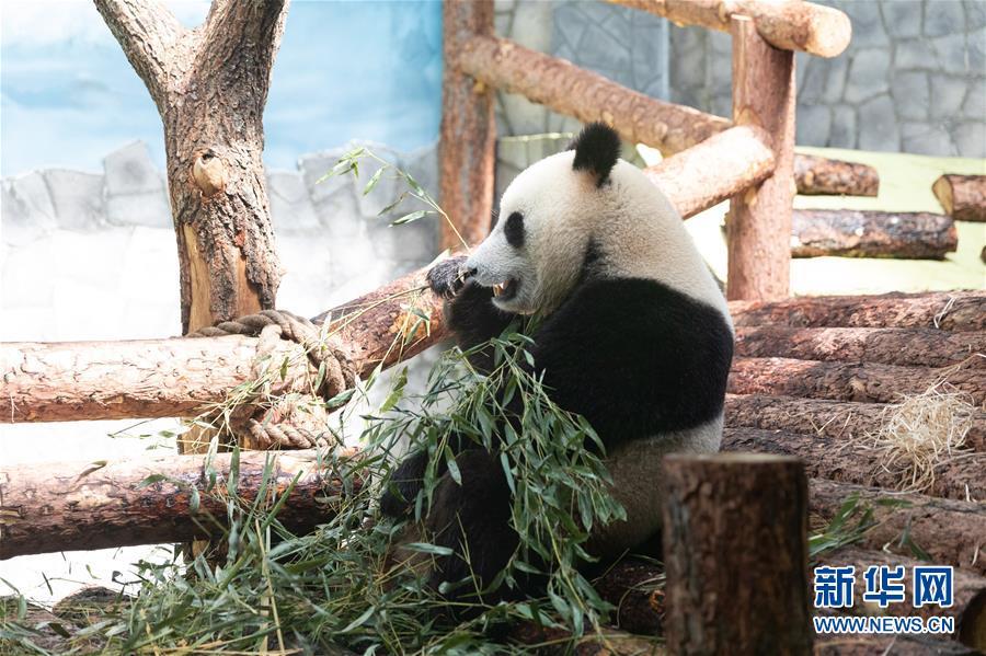 """(习近平出访配合稿·图文互动)(3)通讯:""""友谊使者""""中国大熊猫入住莫斯科新家"""