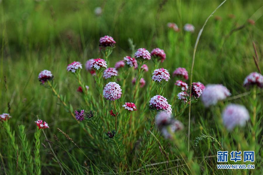 (圖文互動)(1)原子城:鮮花開滿草原