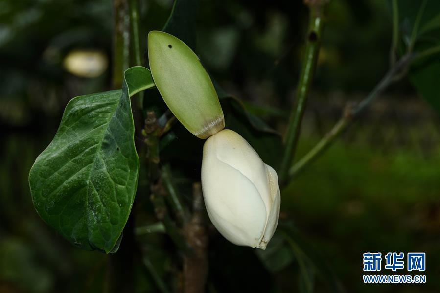 (圖文互動)(2)兩種極小種群野生植物在昆明植物園首次開花