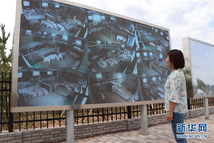 (鄉村振興·圖文互動)(3)內蒙古伊金霍洛旗:自家生豬基地養 環境好來收入旺