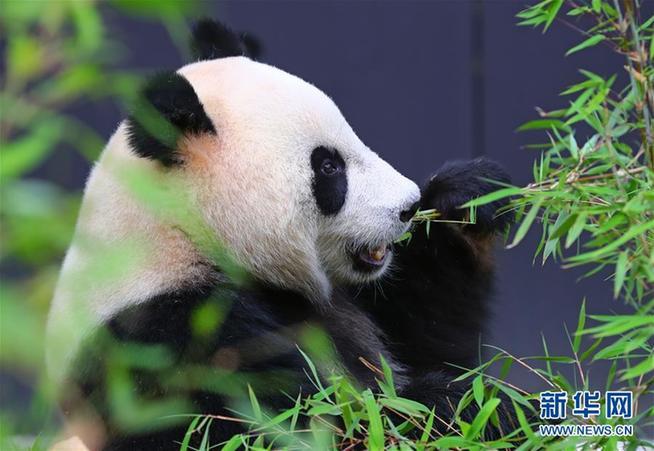 壁纸 大熊猫 动物 654_451