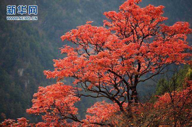 米亚罗风景区位于四川省阿坝藏族羌族自治州理县境内的岷江上游