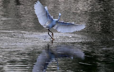 雲影天光生態美 新安江上白鷺飛