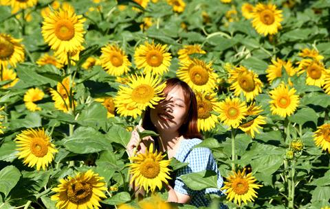 葵花朵朵 笑靨如畫
