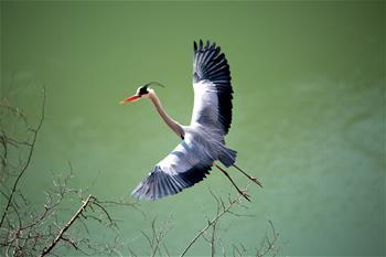 數百只蒼鷺在山西平陸黃河濕地築巢安家